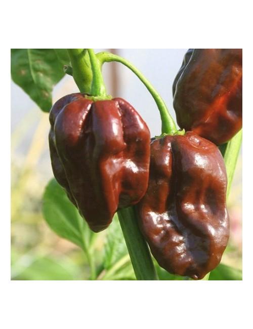 Sementi Peperoncino Habanero Chocolate Piccante