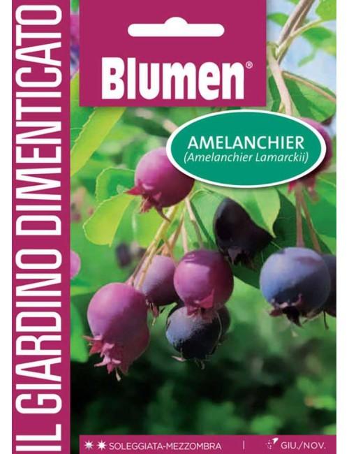 Amelanchier - Blumen