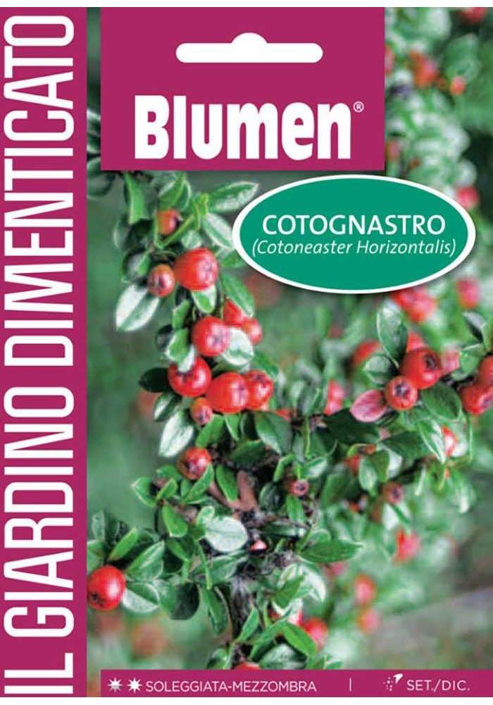 Cotoneaster - Blumen