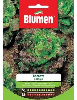 Lattuga Canasta - Blumen