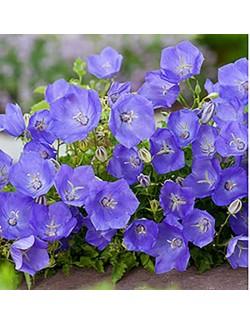 Campanula Carpatica Blu - Blumen