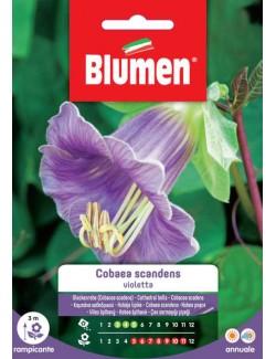 Cobaea Scadens Violetta - Blumen