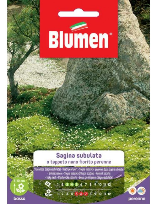 Sagina subulata o Tappeto nano fiorito - Blumen