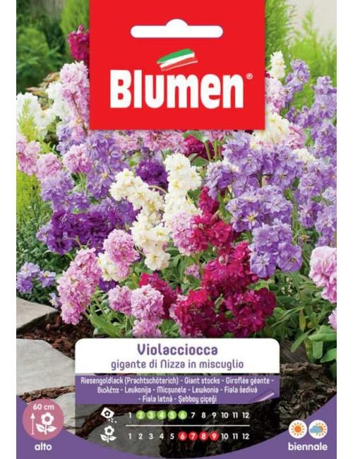 Violaciocca Gigante di Nizza - Blumen
