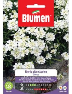 Iberis Gibraltarica bianco - Blumen